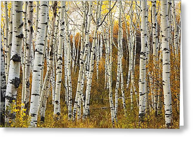 Ron Woods Greeting Cards - Aspen Tree Grove Greeting Card by Ron Dahlquist - Printscapes
