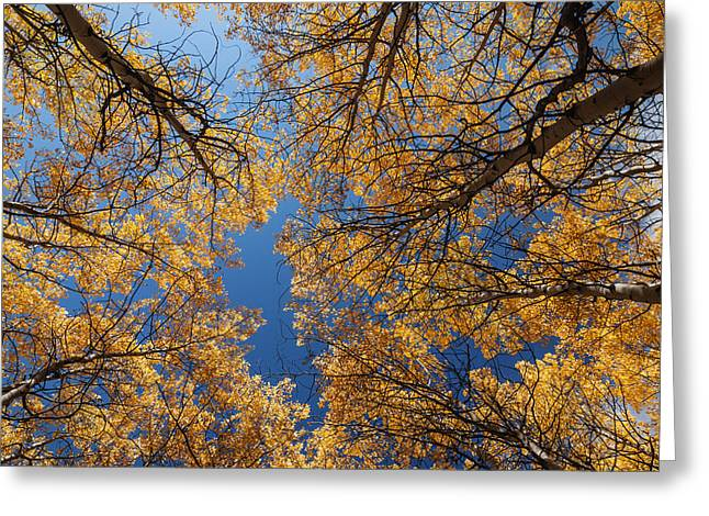 Aspens In Autumn Leaves Greeting Cards - Aspen trees autumn color Greeting Card by Vishwanath Bhat