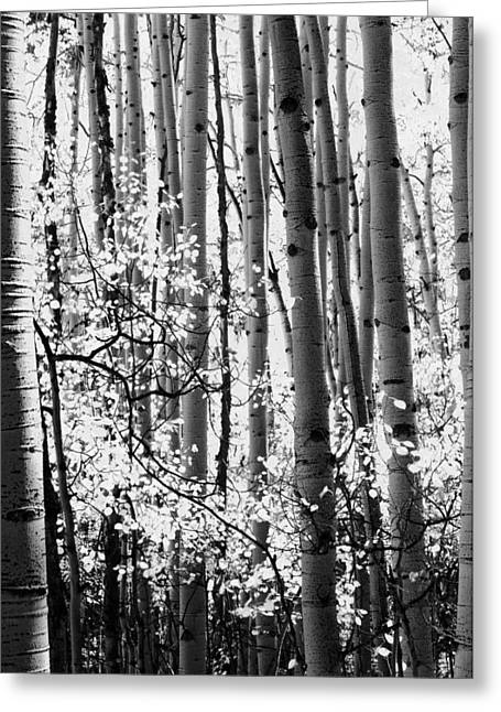 Rustic Cabin Greeting Cards - Aspen Trees Black and White Greeting Card by The Forests Edge Photography - Diane Sandoval