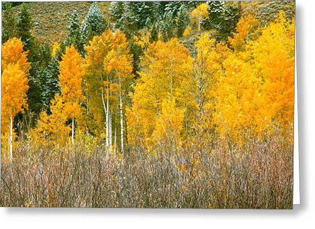Aspen Trees In A Forest, Oxbow Bend Greeting Card by Panoramic Images