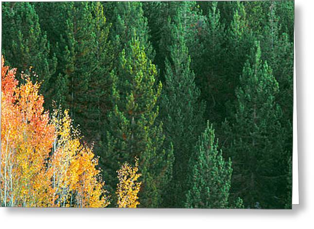 Woodland Scenes Greeting Cards - Aspen Trees In A Forest, Taggart Lake Greeting Card by Panoramic Images