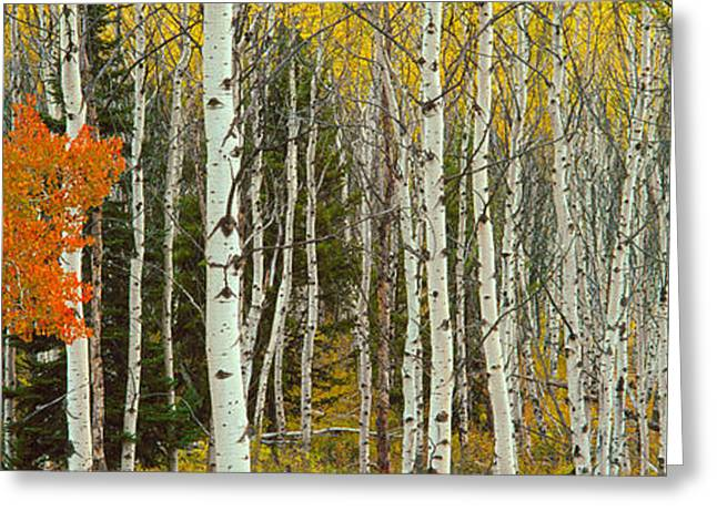 Woodland Scenes Greeting Cards - Aspen Trees In A Forest, Valley Trail Greeting Card by Panoramic Images