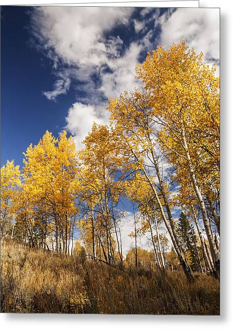 Aspens In Autumn Leaves Greeting Cards - Aspen trees in autumn against dramatic sky Greeting Card by Vishwanath Bhat