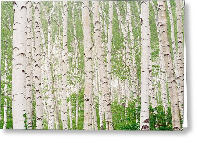 Woodland Scenes Greeting Cards - Aspen Trees Greeting Card by Panoramic Images