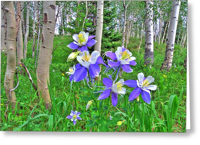Columbine Greeting Cards - Aspens and Columbines Greeting Card by Scott Mahon