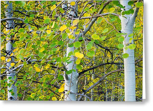 Aspens In Autumn Panorama 2 - Santa Fe National Forest Greeting Card by Brian Harig