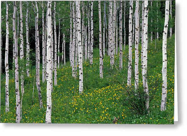 Caribou Greeting Cards - Aspens in Spring Greeting Card by Leland D Howard