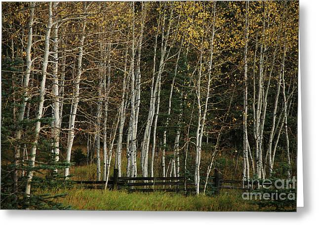 Aspens In The Fall Greeting Card by Timothy Johnson
