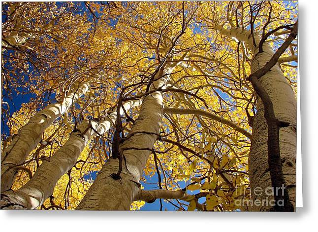 Picket Greeting Cards - Aspens Reaching  Greeting Card by Scott McGuire