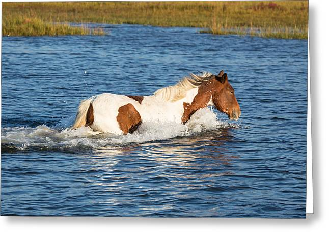 Assateague Wild Horse Greeting Card by Flying Turkey