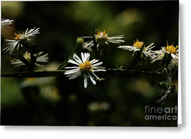 Aster Digital Art Greeting Cards - Asters Branch Greeting Card by Linda Knorr Shafer