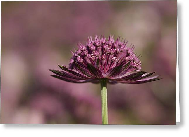 Close Focus Floral Greeting Cards - Astrantia flower Greeting Card by TouTouke A Y
