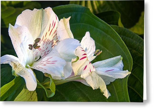 Alstroemeriaceae Greeting Cards - Astroemeria at Sunset Greeting Card by Douglas Barnett