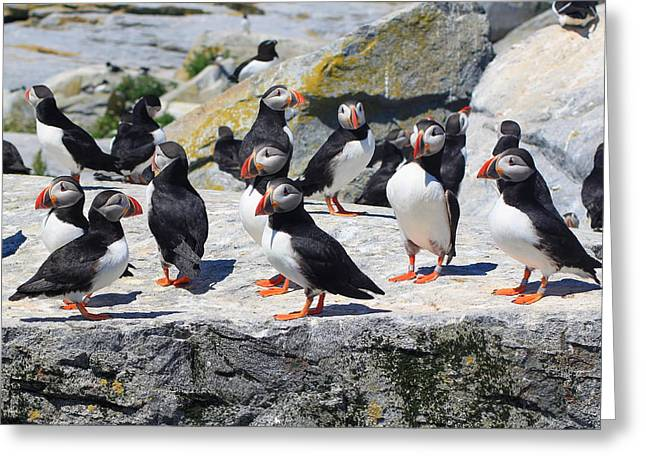 Atlantic Puffin Greeting Cards - Atlantic Puffin Colony Greeting Card by John Burk