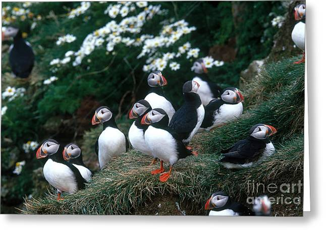 Sea Birds Greeting Cards - Atlantic Puffins Greeting Card by Art Wolfe