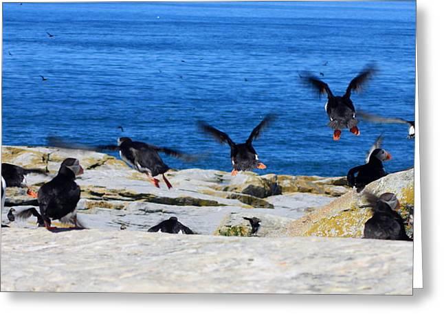 Machias Seal Island Greeting Cards - Atlantic Puffins Flying Greeting Card by John Burk