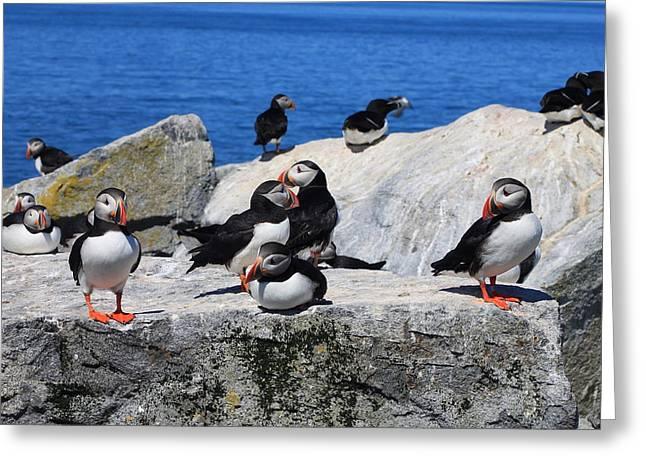 Machias Seal Island Greeting Cards - Atlantic Puffins Machias Seal Island Greeting Card by John Burk