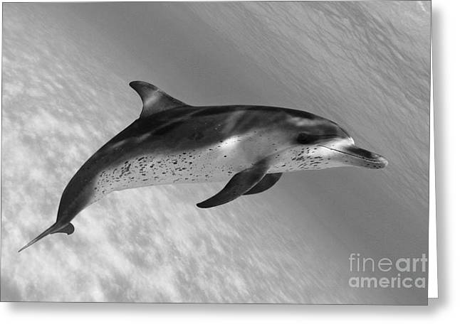 Atlantic Spotted Dolphin Greeting Card by Dave Fleetham - Printscapes