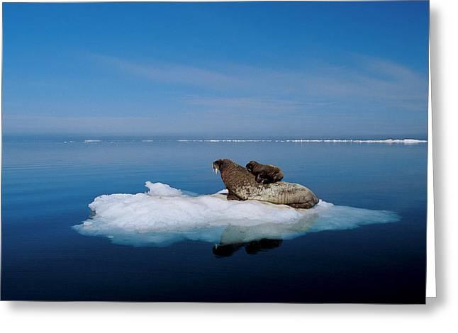Nunavut Greeting Cards - Atlantic Walrus Calf In Refuge Greeting Card by Paul Nicklen