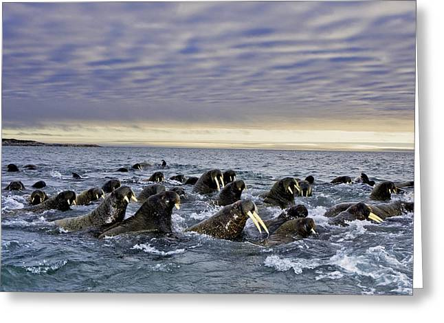 Head In The Water Greeting Cards - Atlantic Walruses Migrating From Russia Greeting Card by Paul Nicklen