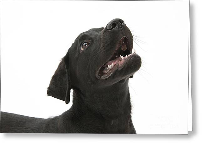 Attentive Labrador Dog Greeting Cards - Attentive Black Lab Pup Greeting Card by Mark Taylor