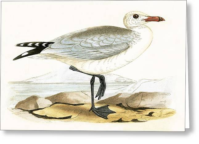Audouin's Gull Greeting Card by English School