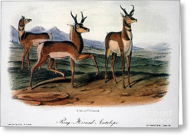 1846 Greeting Cards - Audubon: Antelope, 1846 Greeting Card by Granger