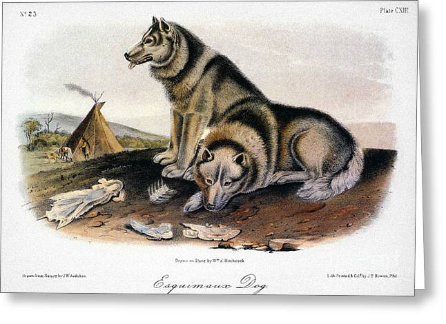 Arctic Dog Greeting Cards - Audubon: Eskimo Dog Greeting Card by Granger