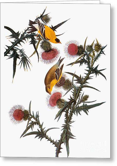 Thistle Greeting Cards - Audubon: Goldfinch Greeting Card by Granger