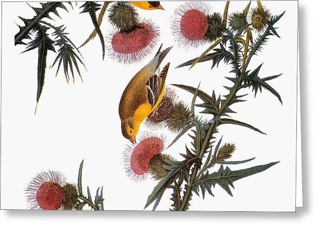 AUDUBON: GOLDFINCH Greeting Card by Granger
