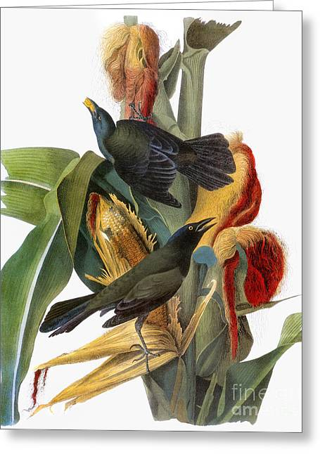 Cornstalks Greeting Cards - Audubon: Grackle Greeting Card by Granger