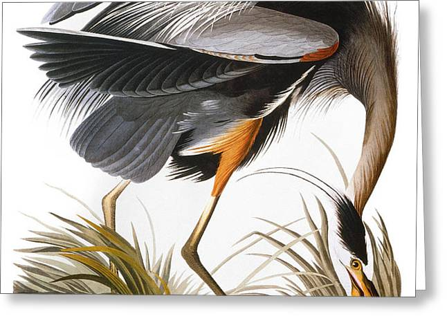AUDUBON: HERON Greeting Card by Granger
