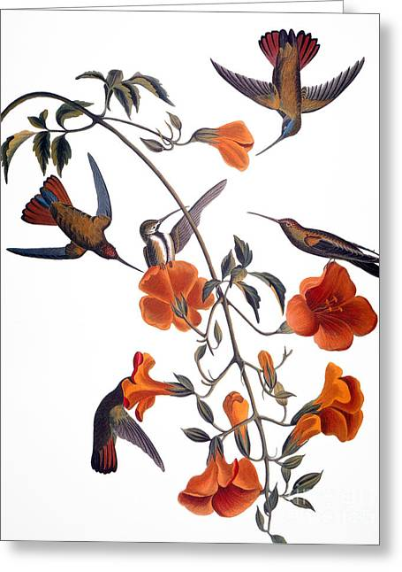 Mango Greeting Cards - Audubon: Hummingbird Greeting Card by Granger