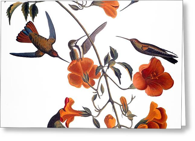 AUDUBON: HUMMINGBIRD Greeting Card by Granger