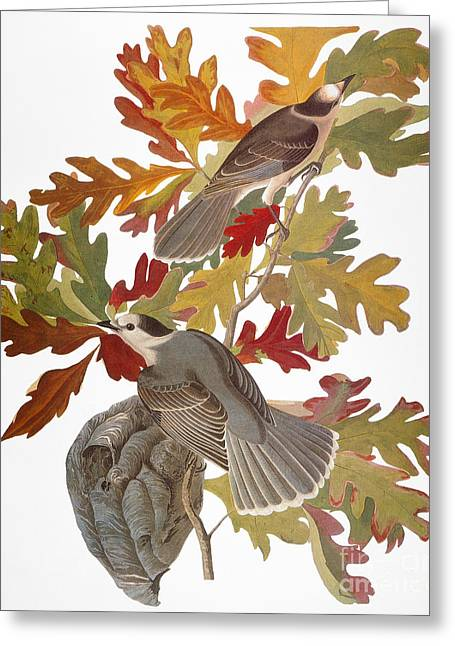 Audubon: Jay Greeting Card by Granger