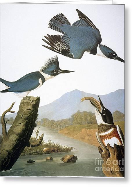 1827 Greeting Cards - Audubon Kingfisher Greeting Card by Granger