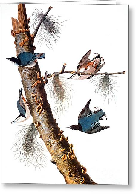 Artflakes Greeting Cards - Audubon: Nuthatch Greeting Card by Granger