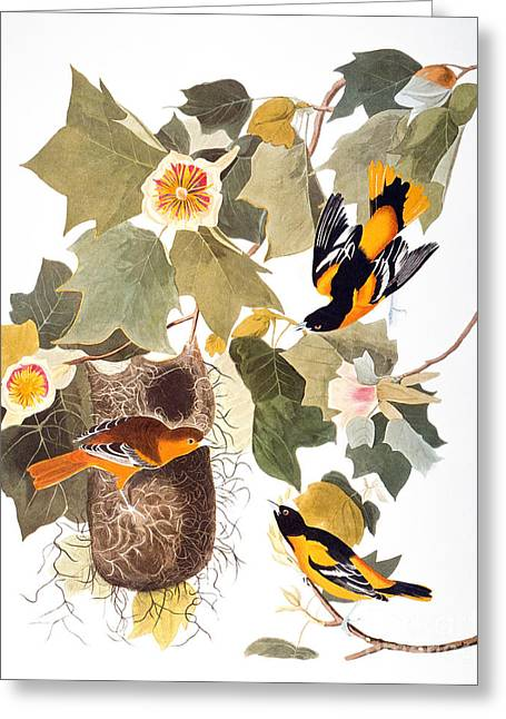 Artflakes Greeting Cards - Audubon: Oriole Greeting Card by Granger