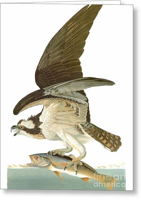 Audubon: Osprey Greeting Card by Granger