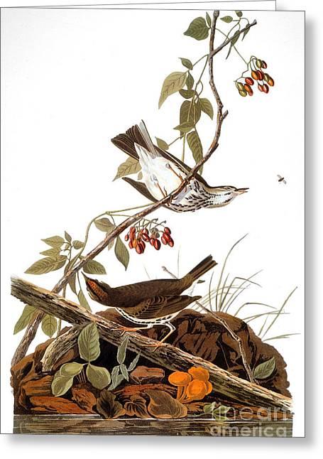 Thrush Greeting Cards - Audubon: Ovenbird Greeting Card by Granger