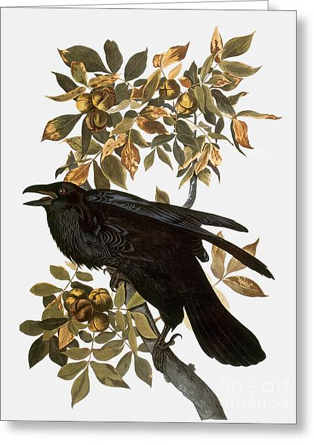 Faa Photographs Greeting Cards - Audubon: Raven Greeting Card by Granger