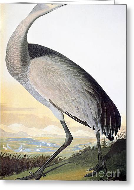 Recently Sold -  - Engraving Greeting Cards - Audubon: Sandhill Crane Greeting Card by Granger