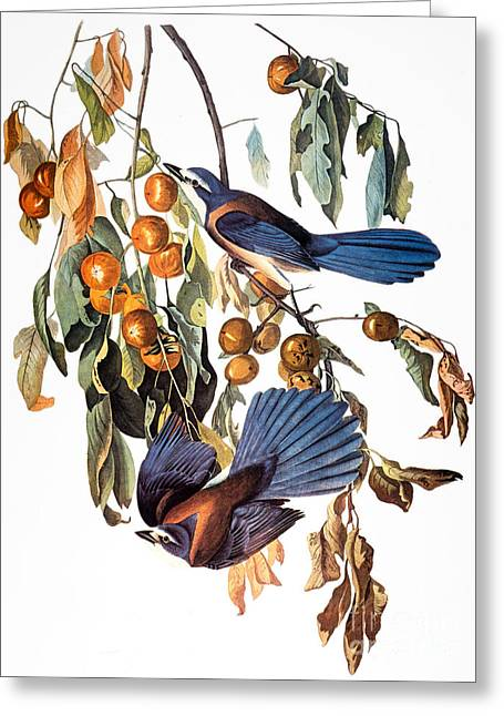 Scrub Jay Greeting Cards - Audubon: Scrub Jay, 1827-38 Greeting Card by Granger