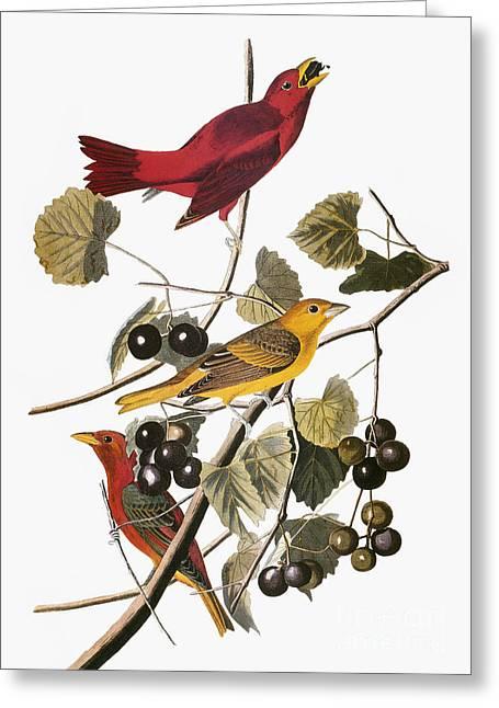 Artflakes Greeting Cards - Audubon: Tanager Greeting Card by Granger