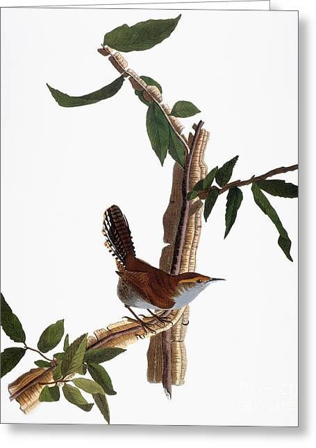Bewick Greeting Cards - Audubon: Wren, (1827-38) Greeting Card by Granger
