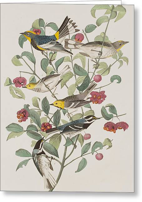 Hermit Greeting Cards - Audubons Warbler Hermit Warbler Black-throated gray Warbler Greeting Card by John James Audubon