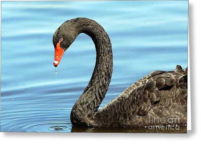 Australian Native Bird Greeting Cards - Australian Black Swan Greeting Card by Marion Cullen