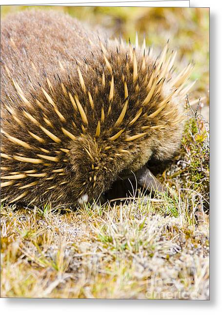 Australian Echidna Burrowing Up Ants Nest Greeting Card by Jorgo Photography - Wall Art Gallery
