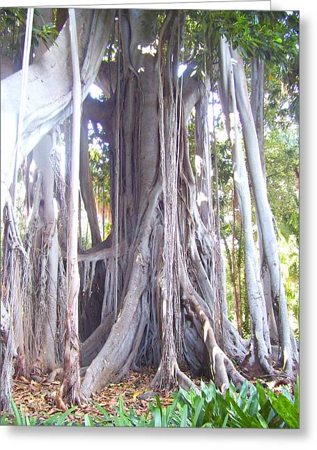 Basis-chakra Greeting Cards - Australian Fig Tree Greeting Card by Ramon Labusch