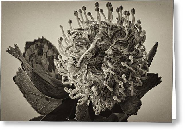 Pincushion Flower Greeting Cards - Australian Pincushion 2 Greeting Card by Robert Ullmann